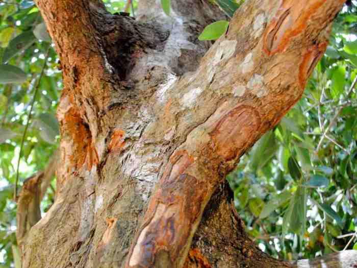 Корица на самом деле - это кора. \ Фото: deruextracts.com.
