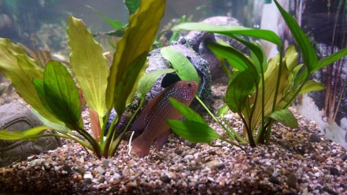 Считается, что настроение в аквариуме задаёт грунт.
