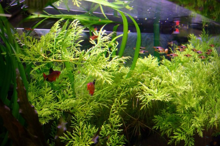 Также водоросли могут послужить для многих рыбок растительным кормом.