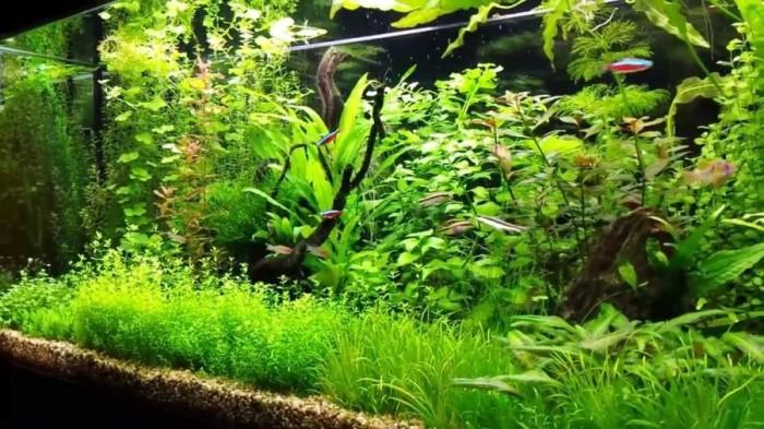 Ко всему прочему во время нереста водоросли становятся временным домом для икринок.