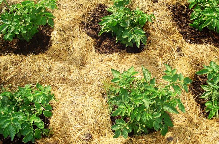 Мульчирование почвы соломой. \ Фото: sezonnadache.ru.