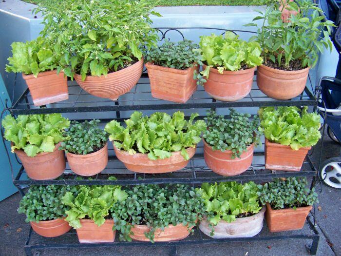 Горшки с зеленью на полках. \ Фото: facebook.com.
