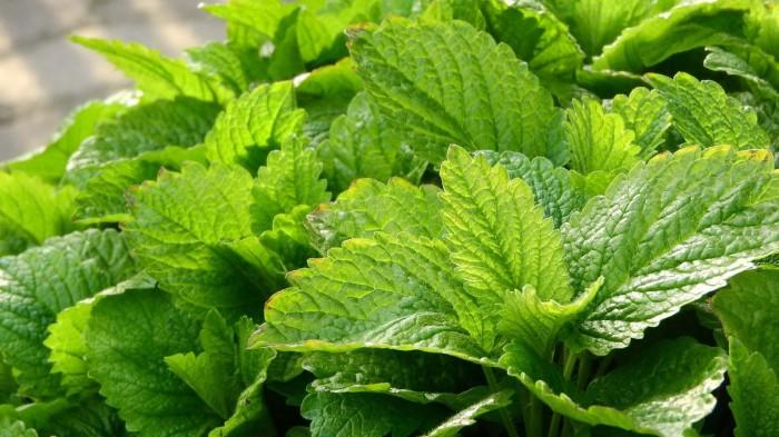 Лимонная мелисса. / Фото: golesosad.com.