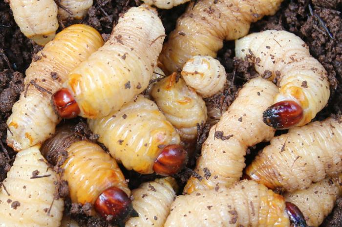 Живые личинки. \ Фото: mysabah.com.