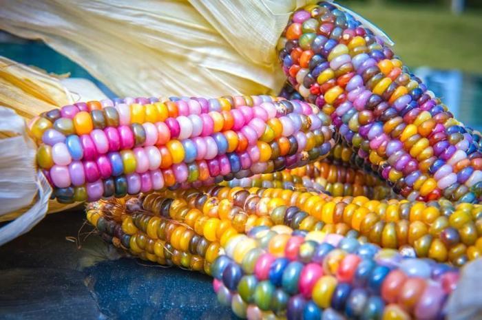 Разноцветная кукуруза. \ Фото: greentalk.ru.
