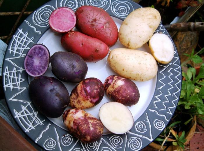Разноцветный картофель. \ Фото: yandex.net.