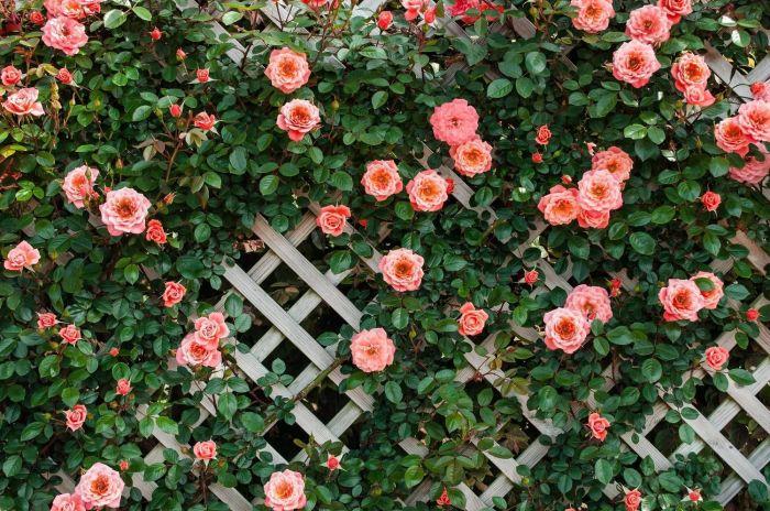Плетистые розы. / Фото: pocvetam.ru.