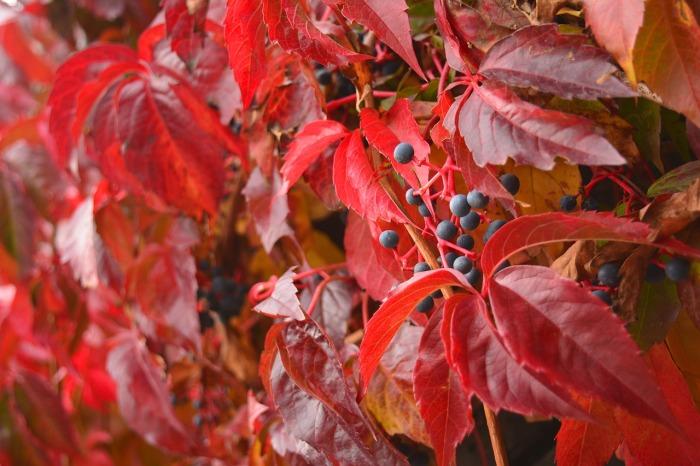Виноград в качестве декора. / Фото: pixabay.com.