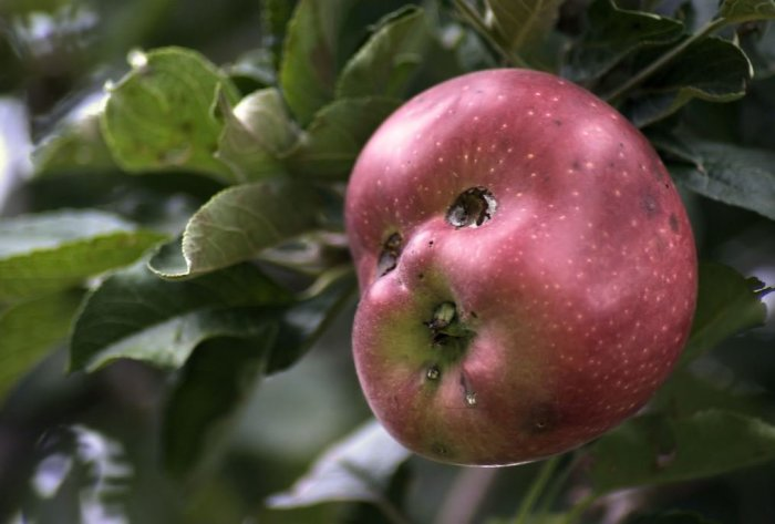 А ведь это яблоко похоже на голову пупса. \ Фото: m.post.naver.com.