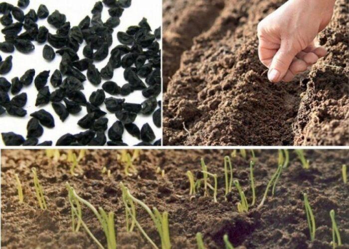 Как правильно сажать лук. \ Фото: diapason.com.ua.