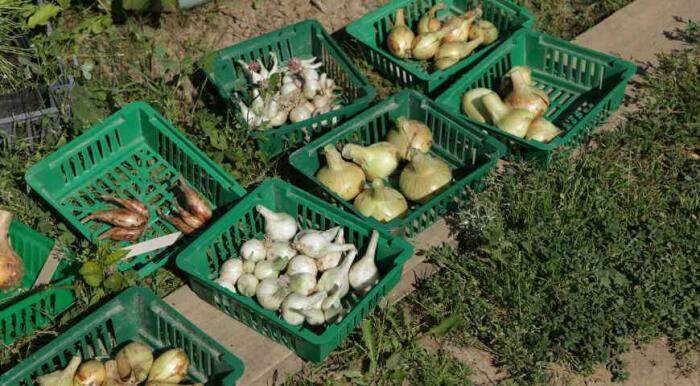 Луковые наборы. \ Фото: google.com.