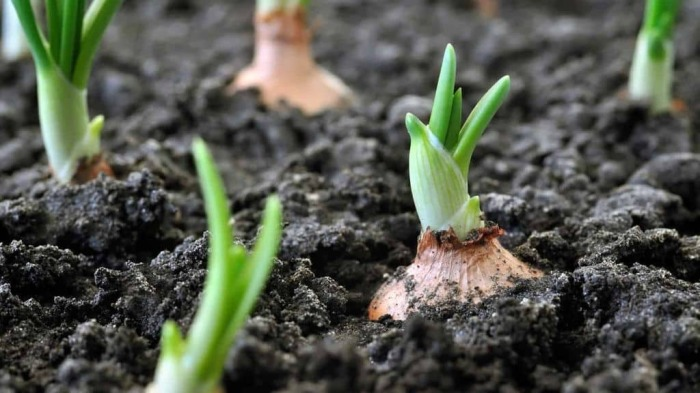 Посадка лука весной в открытый грунт. \ Фото: zifrik.ru.