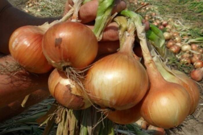 Глобо. Высокоурожайный, мякоть сочная, отсутствует резкий луковый запах. \ Фото: yandex.ua.