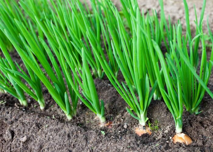 Зелёный лук. \ Фото: saudedr.com.br.