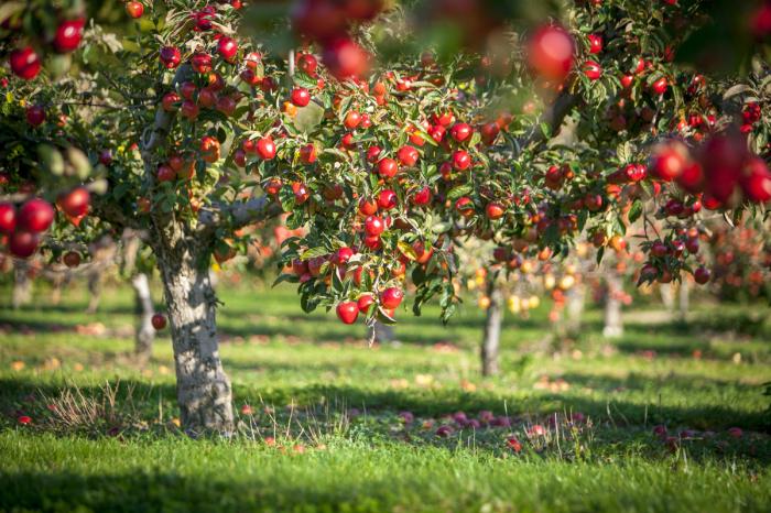 Создаём плодовый сад своими руками. / Фото: botanichka.ru.
