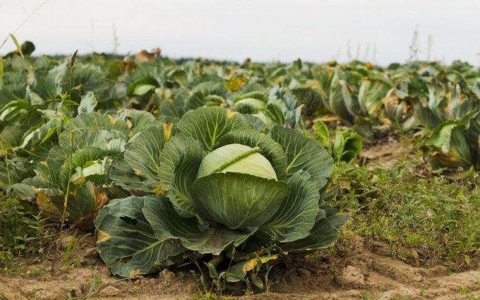 Выбираем соседей для капусты. / Фото: ogorod.ru.