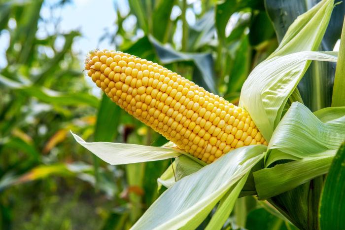 Уделяем внимание кукурузе. / Фото: disruptordaily.com.