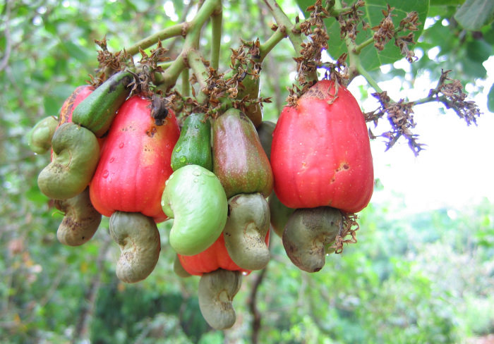 Дерево с плодами кешью. \ Фото: tasteofthai.ru.