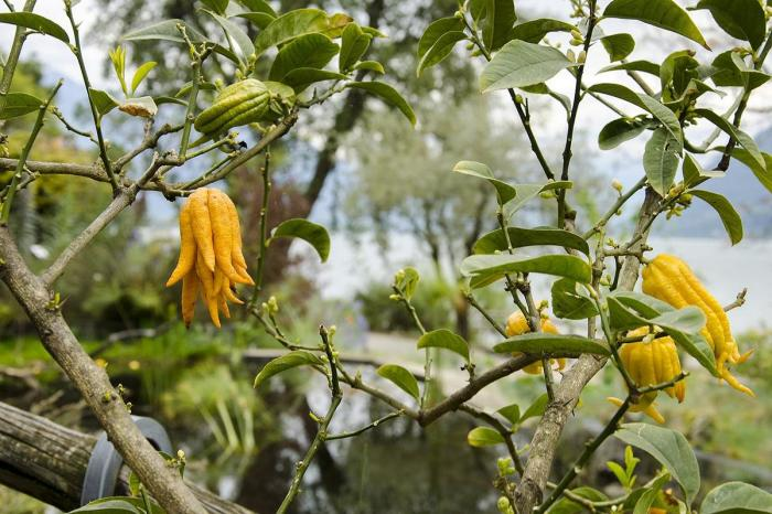 А вот выглядят созревшие плоды руки Будды. \ Фото: golos.io.