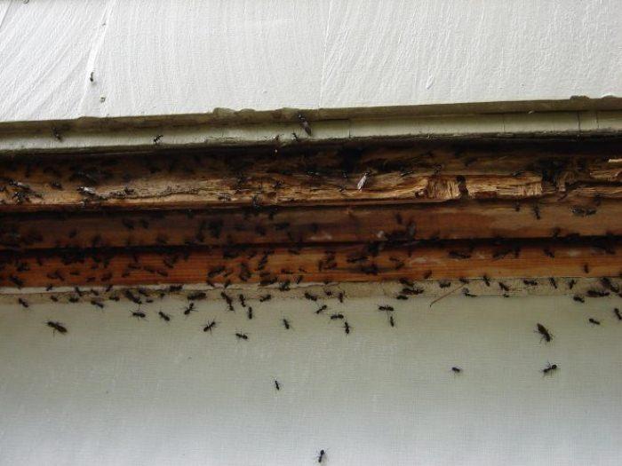 Борьба с муравьями - долгий и непростой процесс.