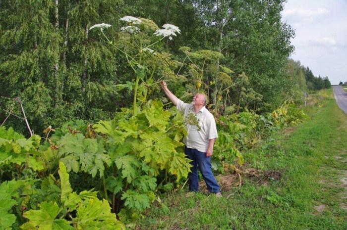 Борщевик Сосновского  - растение, опасность которого многие недооценивают.