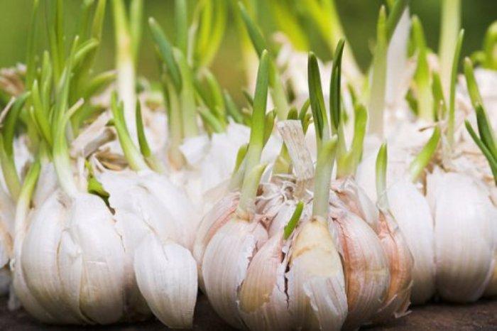 Как проращивать чеснок в домашних условиях.