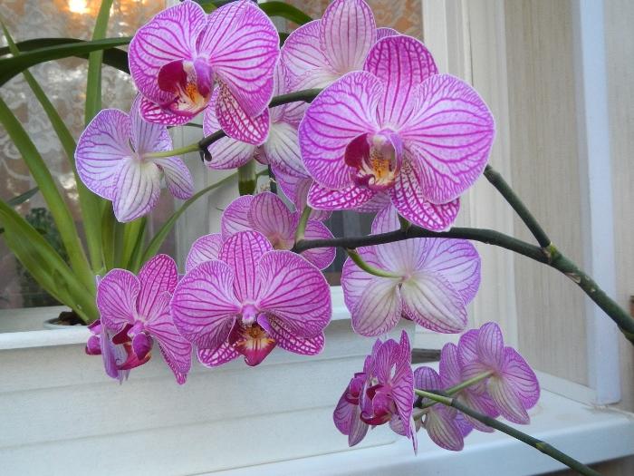 Орхидея для ленивых - фаленопсис.