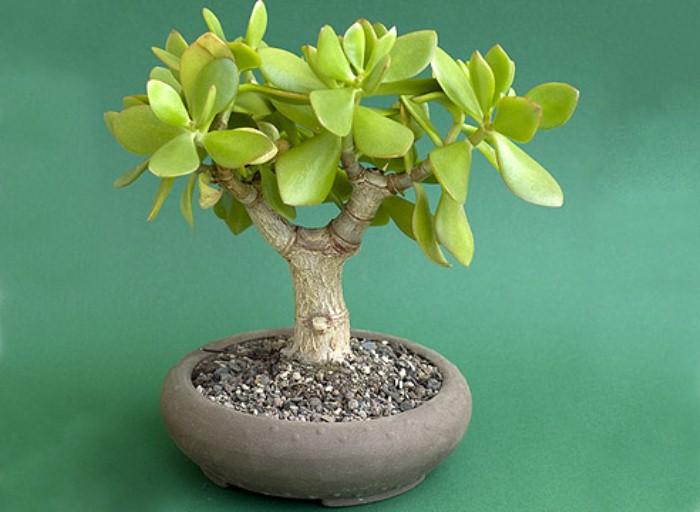 Денежное дерево для финансового благополучия.