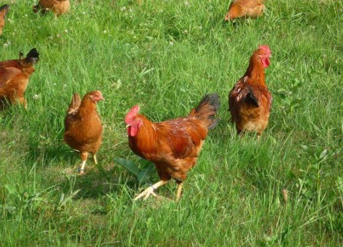 Здоровые куры несут полезные яйца.