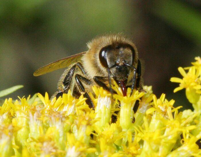 Пчелы собирают нектар с цветков рододендрона.