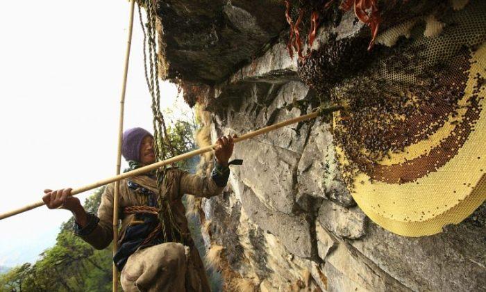 Мужчины собирают мед в горах, рискуя жизнью.