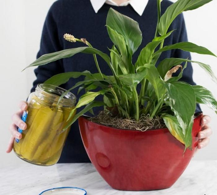 Рассол можно добавлять в воду для полива комнатных растений.