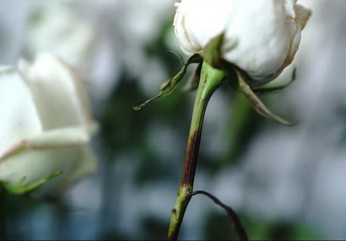 Реакция цветка на соду.