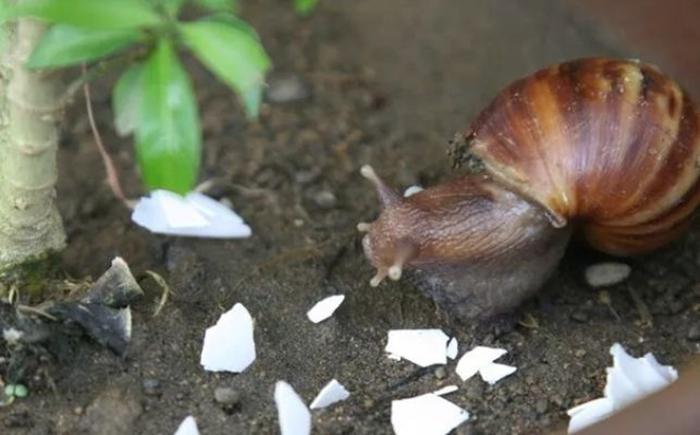 Скорлупа помогает бороться с дачными вредителями.