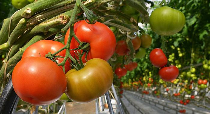 Скорлупа обогащает грунт кальцием. Это полезно для томатов.