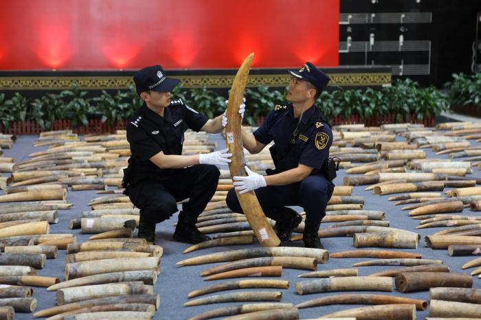 Контрабандисты предпринимали попытки замаскировать слоновую кость под шоколад, покрыв глазурью. /Фото: news.cgtn.com