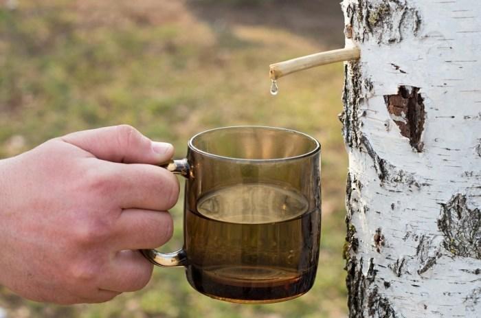 Березовый сок собирают и сегодня. /Фото: i2.wp.com