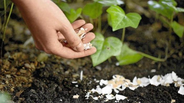 Удобрять растения с яичной скорлупой гораздо безопаснее и проще. /Фото: i.hurimg.com