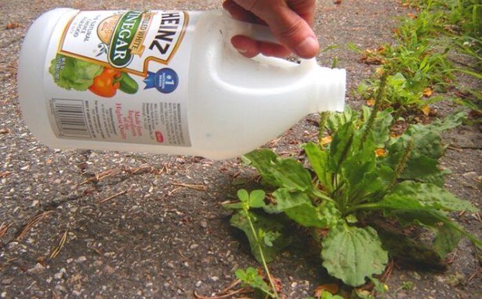 Немного уксуса и все ненужные растения погибнут. /Фото: tu-baginya.pw