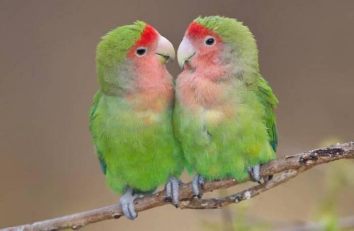 Волнистых попугайчиков называют «неразлучниками». /Фото: nnimgt-a.akamaihd.net