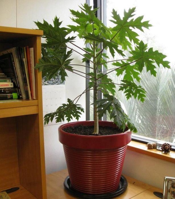 Папайя в домашних условиях даже может давать плоды. /Фото: i.pinimg.com