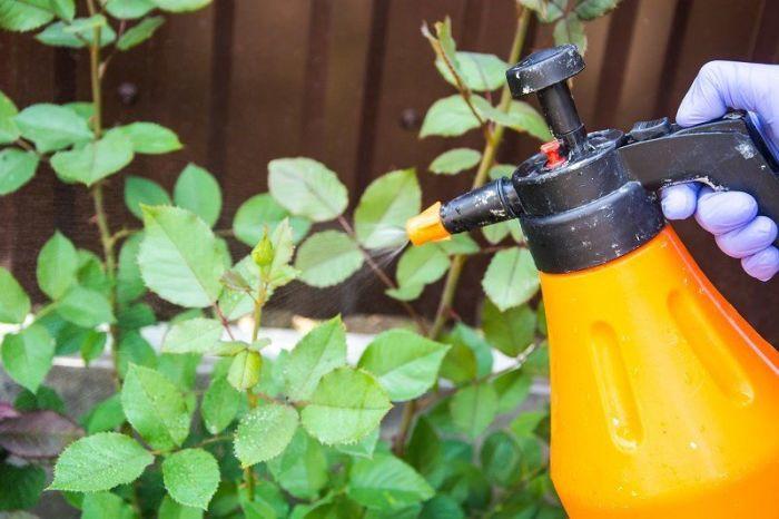Домашний органический фунгицид — лучшее средство для лечения роз. /Фото: klevo.net