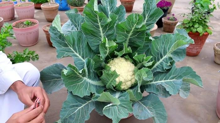 Если вы любите цветную капусту, то стоит попробовать посадить ее у себя дома. /Фото: i.ytimg.com