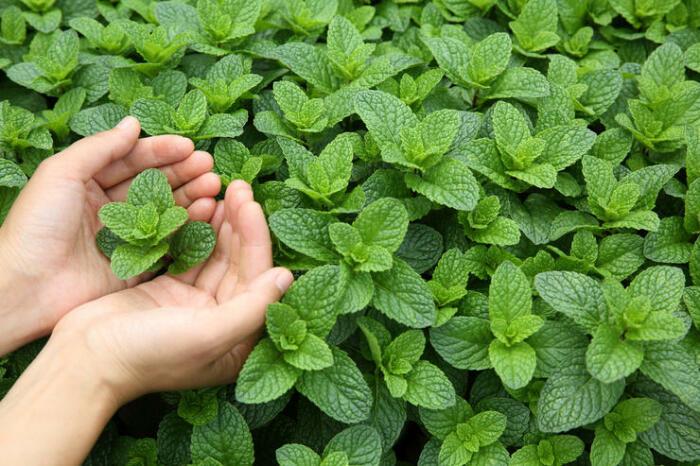 Приятная на вкус и при этом очень действенная в освежении дыхания. /Фото: foodandmood.com.ua