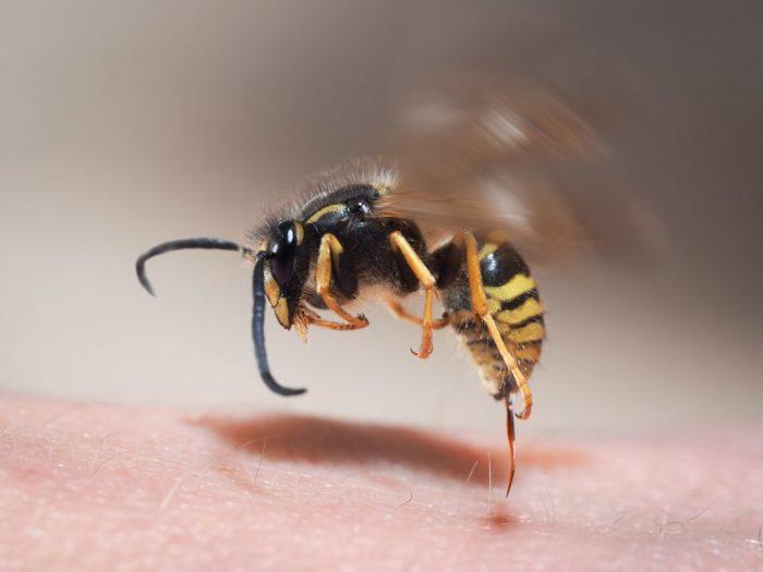 Пчела кусает – лук помогает. /Фото: toksikolog.com