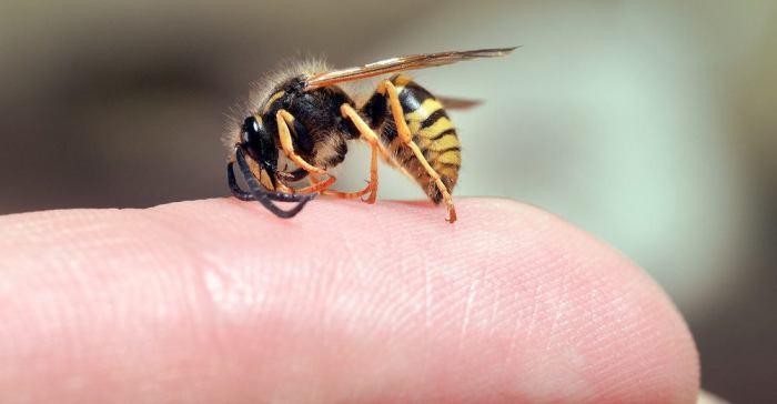 Укусила пчела – бегите за сахаром. /Фото: stopklopam.com