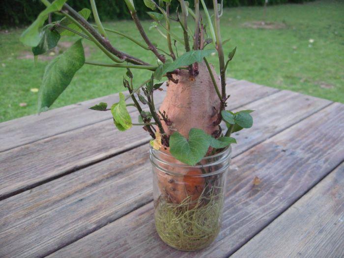 Проращивание картофеля в ускоренном режиме. /Фото: i.pinimg.com