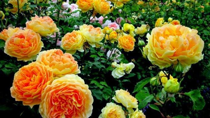 Приятно видеть на своем участке здоровые цветущие розы. /Фото: 1.bp.blogspot.com
