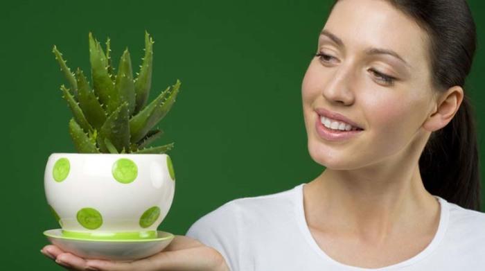 Алоэ хорошо помогает в лечении укусов и различных кожных раздражений. / Фото: sugarbabyexchange.com
