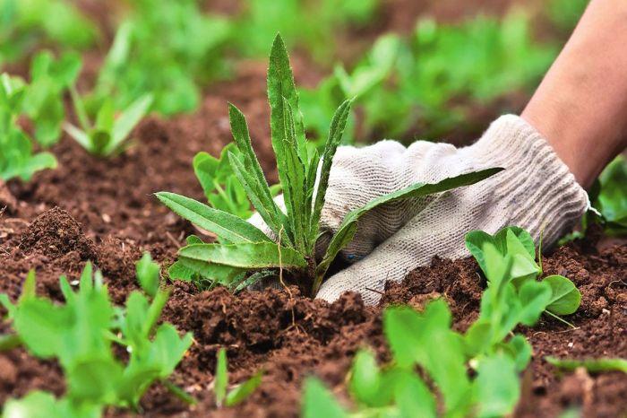 Сорняки можно удалить кипятком, и не обязательно полоть. /Фото: nashgazon.com